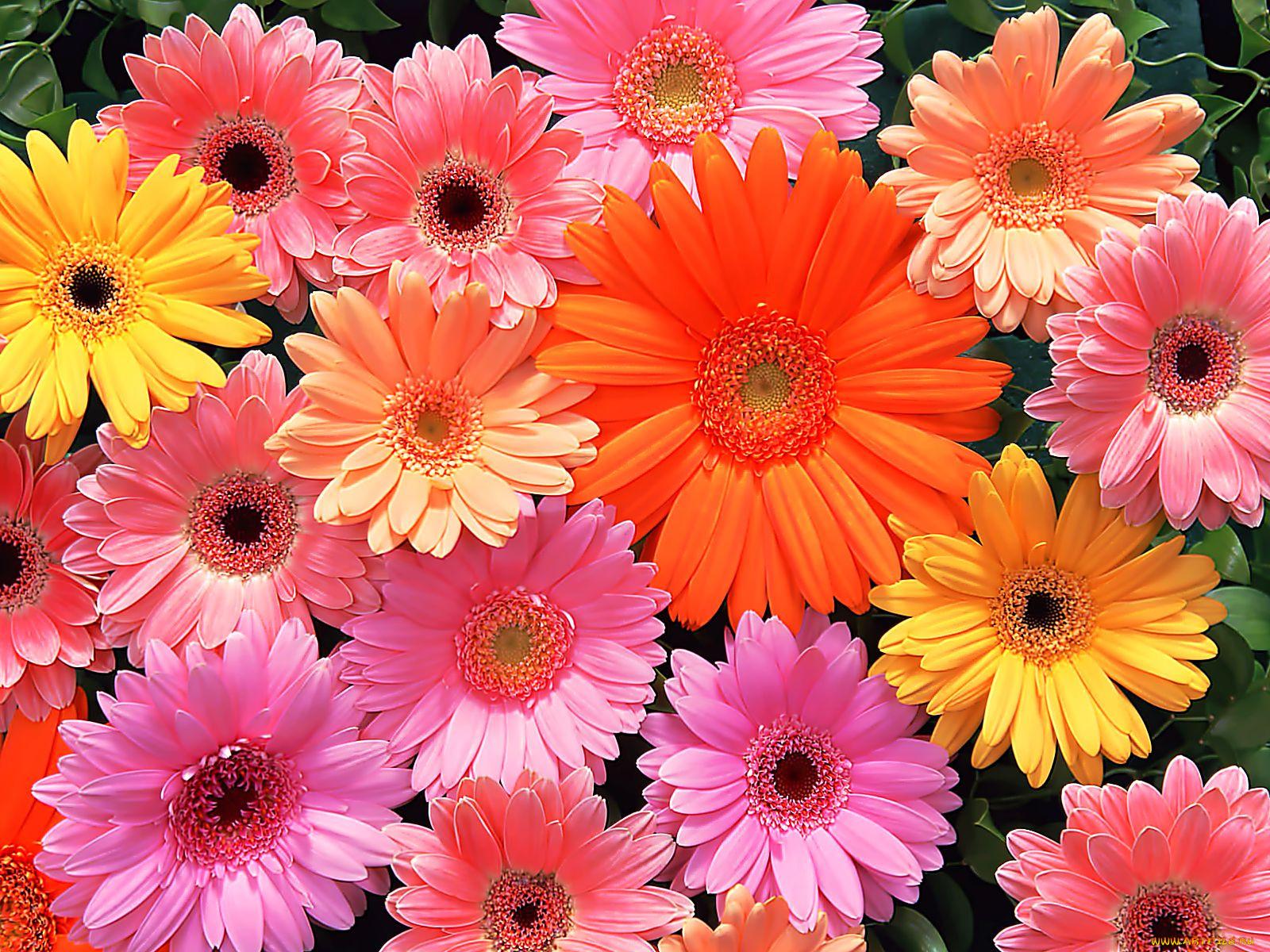 данио разные виды цветов и их названия с фото стали они теми